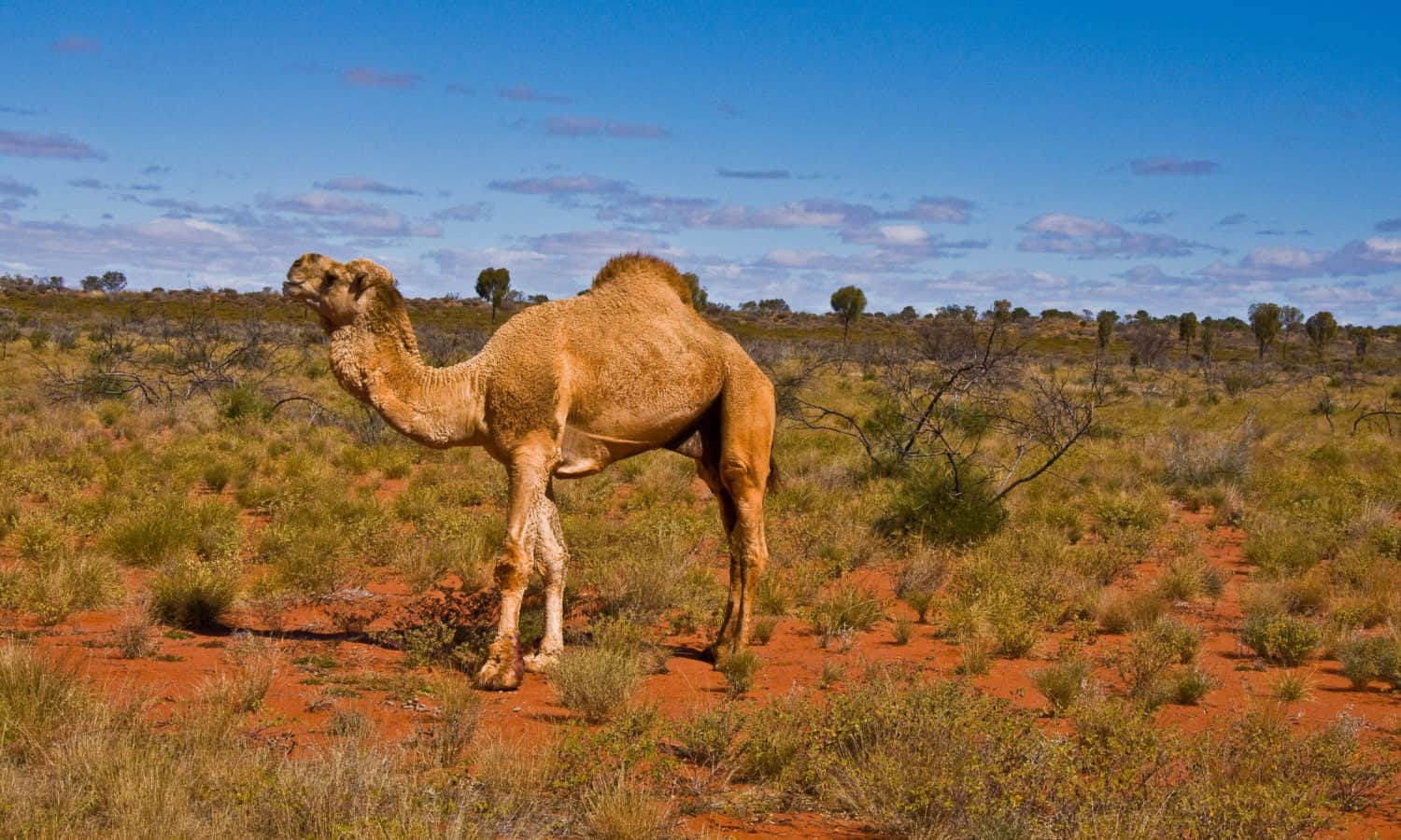 Photo of Australia's authorities ordered to kill more than 10,000 water-starved camels to tackle bushfires