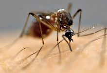 Photo of Genetically Modified Mosquitoes: New weapon to fight Dengue; will not bite humans